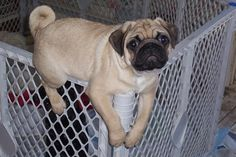 Oh this pug puppy is going to be trouble, but who could resist such hilarious and adorable antics?!