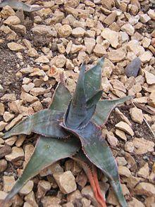 http://en.wikipedia.org/wiki/List_of_Aloe_species   Aloe laeta