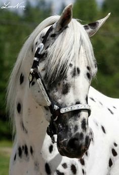A beautiful spotted horse #horse http://www.annabelchaffer.com/categories/Equestrian-Gifts/