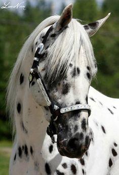 Cavalo dalmata
