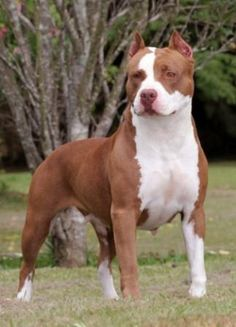 American Pit Bull Terrier http://www.mascotadomestica.com/adriestramiento-perros/american-pit-bull-terrier.html