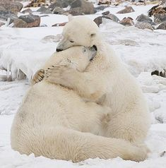 Polar bears ~ The warm hug