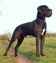 Great Dane or Deutsche Dogge - Gentle Giants