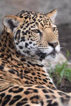 — #DidYouKnow The native word for jaguar, yaguara,...