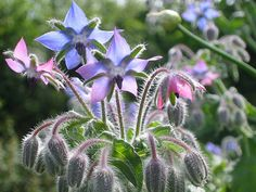 Borage Seed Oil is also known as Starflower Oil. This oil is packed with therapeutically active ingredients and is particularly good for mature, sensitive, damaged or hormonally influenced skin. It is also helpful for areas of scarring, cellulite and as an additional moisture boost for facial massage. Has the highest concentration of GLA (Omega 6 fatty acid) found naturally in any plant source - even higher than Evening Primrose!!