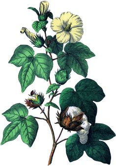 Botanical Cotton Plant Image! - The Graphics Fairy