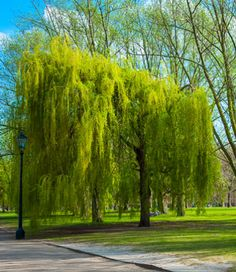 Fast Growing, Low-Maintenance Shade Tree  - • Grows up to 8 feet a year! • Easy to grow • Adapts to many climates • Adapts to various soils • Disease & insect resistant  This excellent specimen tree is always in high demand. The classic beauty of the Weeping Willow cascading toward water is undeniably...