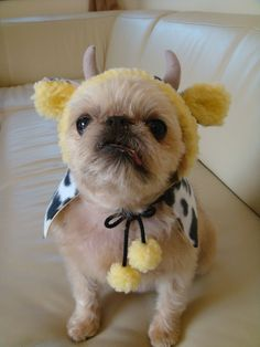 Brussels Griffon with the cutest outfit