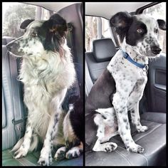 Shaved border collie