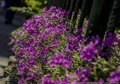 Blooming fence by parsek76.deviantart.com on @DeviantArt