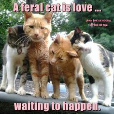 Feral cats Las Vegas Nevada has Heaven Can Wait. Free neutering of feral cats/guidance in trapping. I have 3 who visit nightly.neutered now thanks to Heaven Can Wait. Get a program going in your area to eliminate starvation, suffering. Feral Kittens, Cats And Kittens, Cute Funny Animals, Funny Cats, Thing 1, Cat People, Animal Quotes, Animal Humor, Beautiful Cats