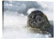 Global Gallery 'Do You Have a Fish?' by Holger Droste Framed Photographic Print Size: Beautiful Creatures, Animals Beautiful, Baby Animals, Cute Animals, Cute Seals, Harbor Seal, Photo Animaliere, Baby Seal, Seal Pup