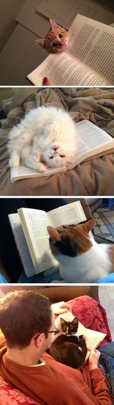 Gatos adoram ler... Quando o dono está lendo! - My cat does this and I'm like really cat