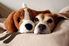 two beagles?