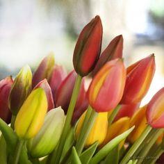 Tulipanes F00543 Wifred Llimona - Detalle
