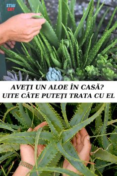 Aloe Vera, Green Beans, Natural Remedies, Sport, Vegetables, Nature, Plant, Health And Wellness, Deporte