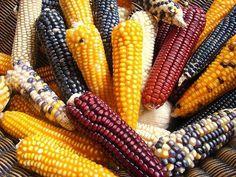 Diferentes tipos de maiz
