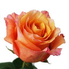 Milva Creamy Orange Roses - 50 for $109.99 (so vibrant!)