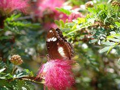 Beautiful Butterfly, Kakadu NP, Northern Territory, Australia - www.mr2percent.com