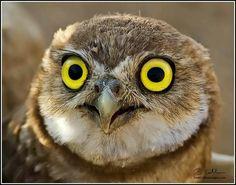 Juvenile Burrowing Owl,  photo from The Audubon Society.