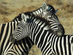 Zebras ( or ) are several species of African equids (horse family) united by their distinctive black and white stripes. Description from imgarcade.com. I searched for this on bing.com/images