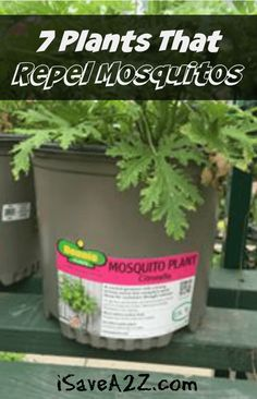 7 Plants that Repel Mosquitos - iSaveA2Z.com