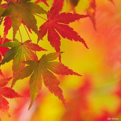 melody of maple | Flickr - Photo Sharing!