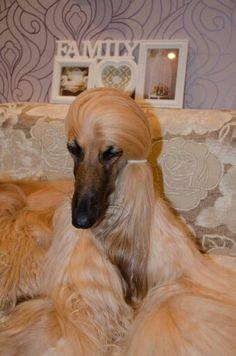 Afghan hound: Hairstyles for a dog named Georgia