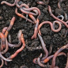 EXCELLENT informative and well-written blog on foraging by Green Deane. This page: Earthworms: 82% protein and full of healthy Omega 3 fatty acids. Just be sure to wash and cook first. (But you didn't didn't need that reminder)
