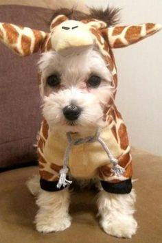 Giraffe dog ... so adorable,  Callie's next Halloween costume!
