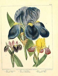 Iris: The New Botanic Garden,1812