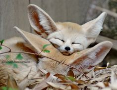 a fennec fox using another fennec fox as a pillow : foxes