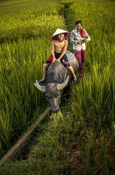 Buffalo ride in the Rice Field, Ha Giang, Vietnam