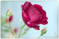 Rose_GD_0038.JPG