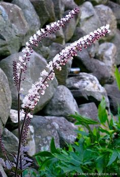 known as fairy candles, black cohosh, black snake root.