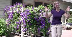 growing-clematis-video-22820151143