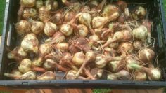 Harvesting and Curing Onions | Summers Acres