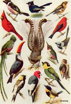 Beautiful Birds of the World 1923..  Wonder if my brother still has his bird book... and will let me chop it up.. ha