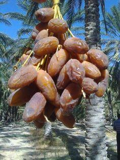 Deglet Nour-Algerie the best date in the world . Fruit Plants, Desert Plants, Fruit Garden, Vegetable Garden, Fruit And Veg, Fruits And Vegetables, Dried Fruit, Fresh Fruit, Growing Fruit Trees