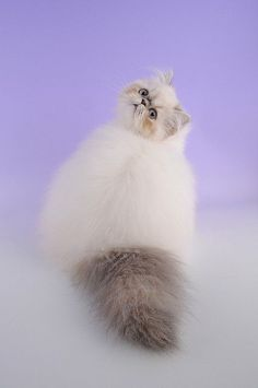The fluffiest cat.