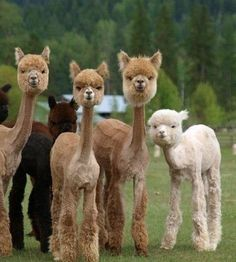 Funny pictures about Just A Bunch Of Shaved Alpacas. Oh, and cool pics about Just A Bunch Of Shaved Alpacas. Also, Just A Bunch Of Shaved Alpacas photos. Cute Baby Animals, Farm Animals, Animals And Pets, Funny Animals, Smiling Animals, Animal Funnies, Strange Animals, Vegan Animals, Cute Creatures