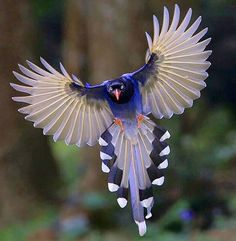 Red-billed Blue Magpie occurs in a broad swathe from the northern parts of the Indian subcontinent, and further eastward.