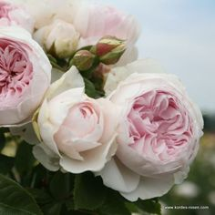 KORDES Rosen Herzogin Christiana ® Duftrose - ADR Rosen Die schönsten Rosen der Welt
