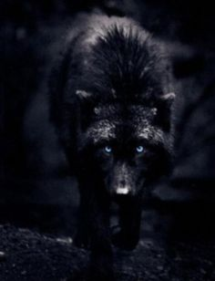 Angry Black Wolf