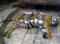 Mama tiger whose babies passed away...to relieve her depression, zookeepers wrapped piglets in tiger skin, and she adopted them as her very own babies. God has created a wonderful world that we would see if we would only think outside the box a bit!