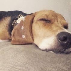 Será que eu brinquei mto na creche hoje?? Recuperando as energias pq amanhã eh feriadooo!!! @petparentsbrasil #vempronossomundo #beagle #beaglelovers #somostodosloucosporeles
