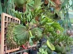 Platycerium, Staghorn Fern, Wooden Art, Ferns, Plant Leaves, Gardens, Nature, Plants, Room