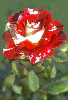 Red and white Rose Beautiful Rose Flowers, Beautiful Flowers Wallpapers, Pretty Roses, Rare Flowers, Exotic Flowers, Amazing Flowers, Rose Flower Pictures, Orquideas Cymbidium, Rosa Rose