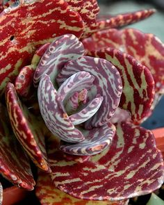Kalanchoe humilis | this thing looks like a zebra mashed with a succulent.