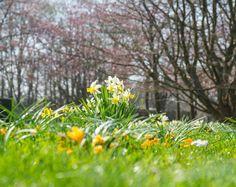 #press #spring celebrated in #britzergarten #neukölln #berlin #kirschblüten
